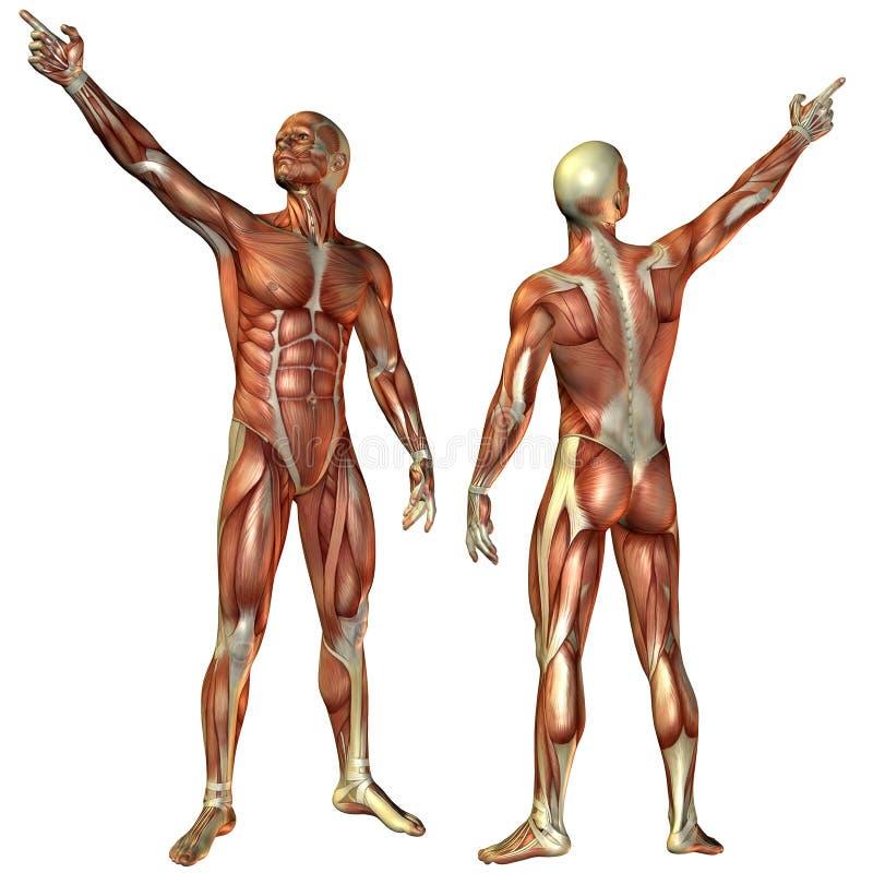 Muscle al hombre de la estructura delantera y trasera stock de ilustración
