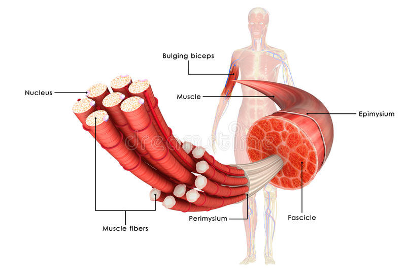 Muscle Anatomy. Muscle is a soft tissue found in most animals. Muscle cells contain protein filaments of actin and myosin that slide past one another, producing stock illustration