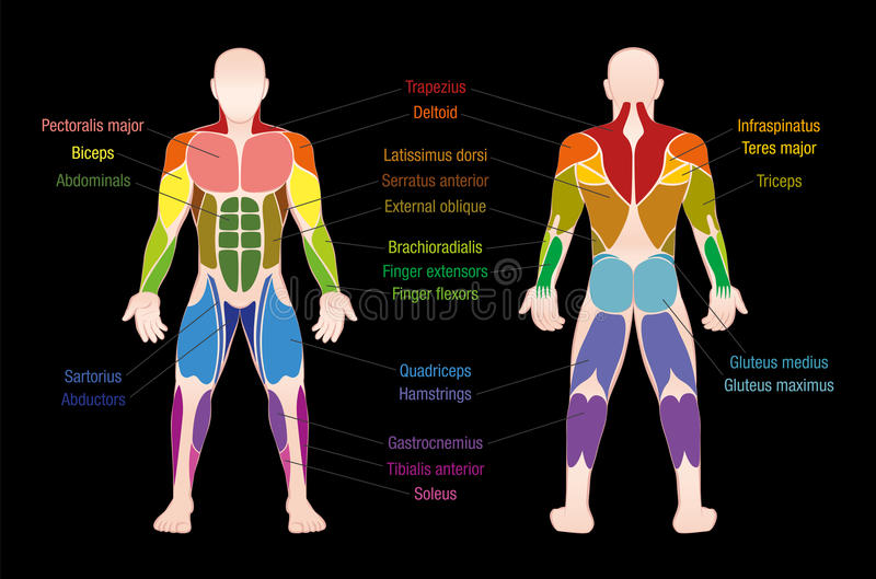 Muscle Chart Male Body Colored Muscles Stock Vector - Illustration ...