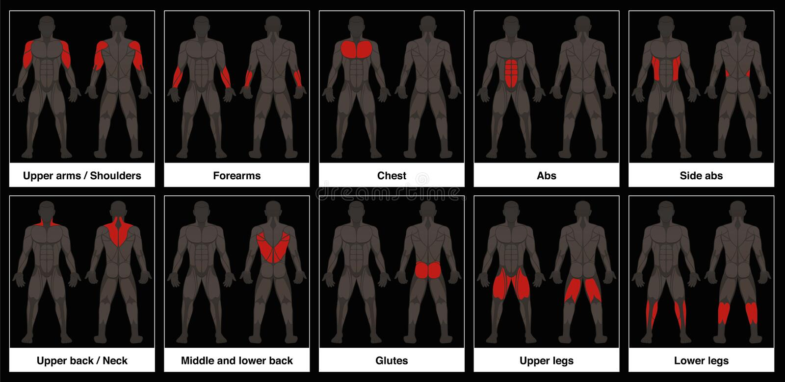 Muscle Chart Male Body Parts Black Background. Muscle chart - male body, frontal and back view with highlighted red muscle parts - isolated vector illustration stock illustration
