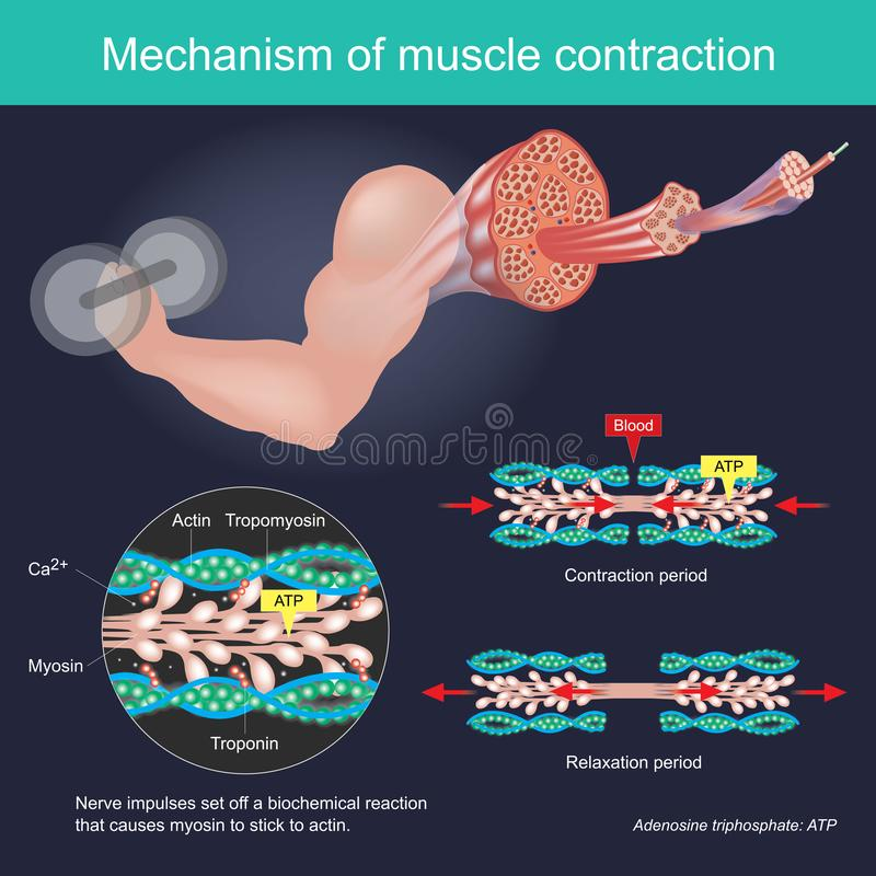 The muscle contraction as a result of Nerve impulses set off a biochemical reaction that causes myosin to stick to actin. Human. Body infographic royalty free illustration