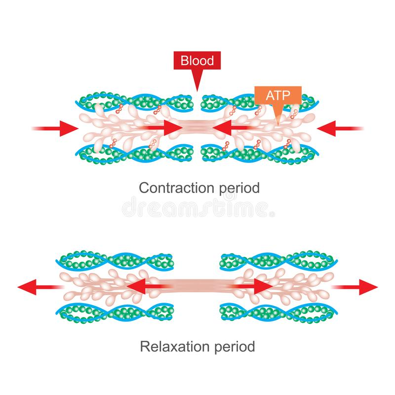 Muscle contraction. Human body infographic. The muscle contraction as a result of Nerve impulses set off a biochemical reaction that causes myosin to stick to stock illustration