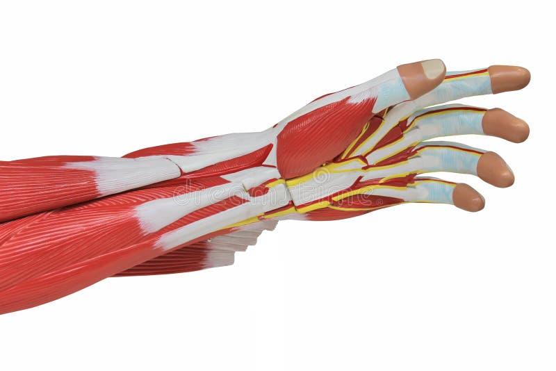 Muscle de main image libre de droits
