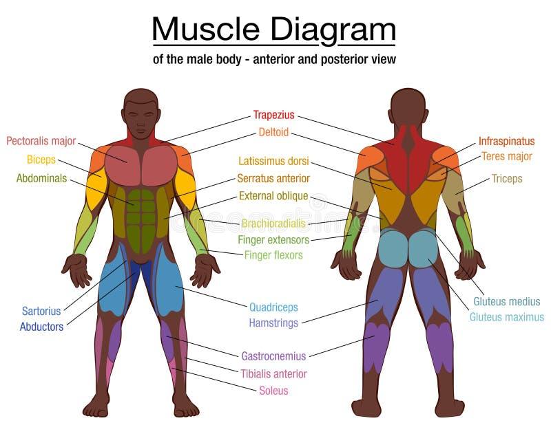 Muscles Chart Description Muscular Body Man Stock Vector Wiring Diagram