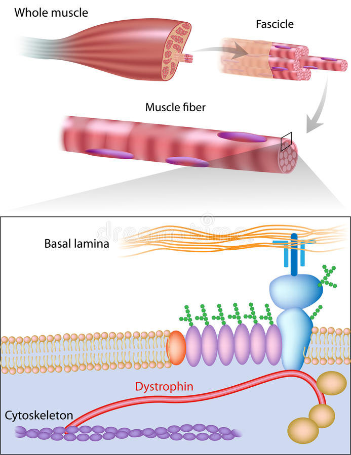 Muscle fiber structure showing dystrophin location stock illustration