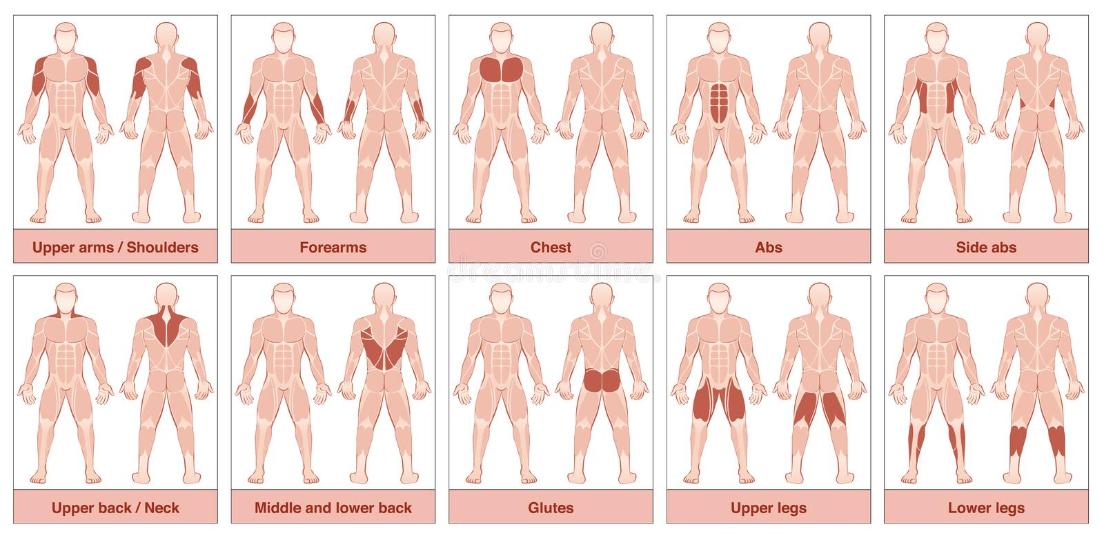 Muscle Groups Chart. Muscle group chart - male body with the largest human muscles, divided into ten labeled cards with names and appropriate highlighted muscle stock illustration