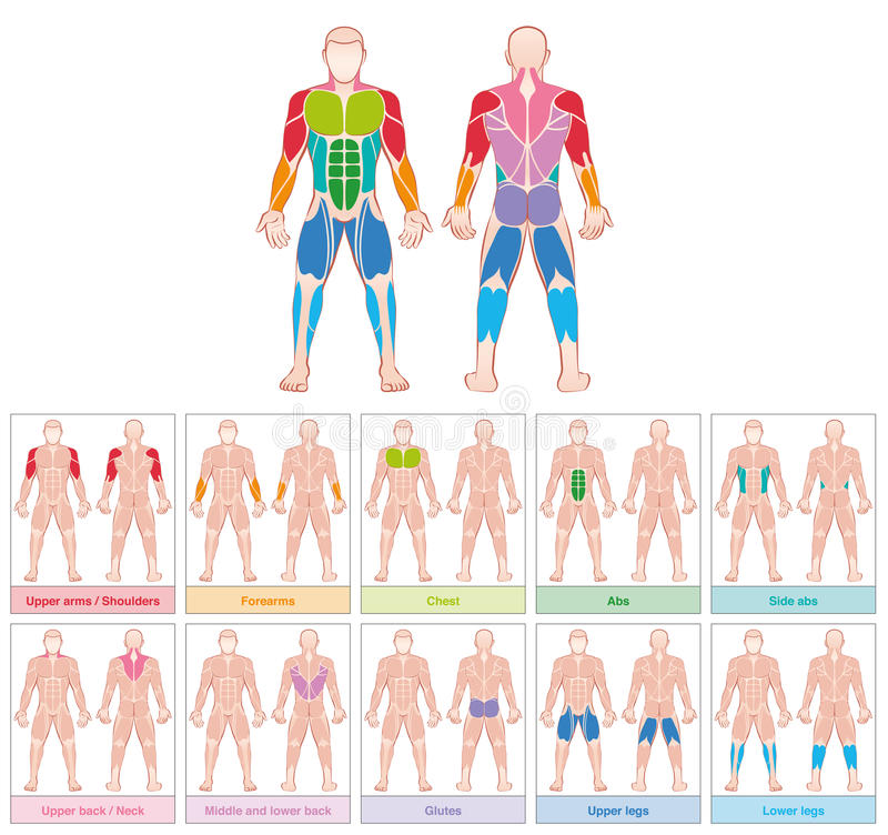 Muscle Groups Colored Chart. Muscle groups - chart with largest human muscles - ten colored labeled cards - isolated vector illustration on white background vector illustration