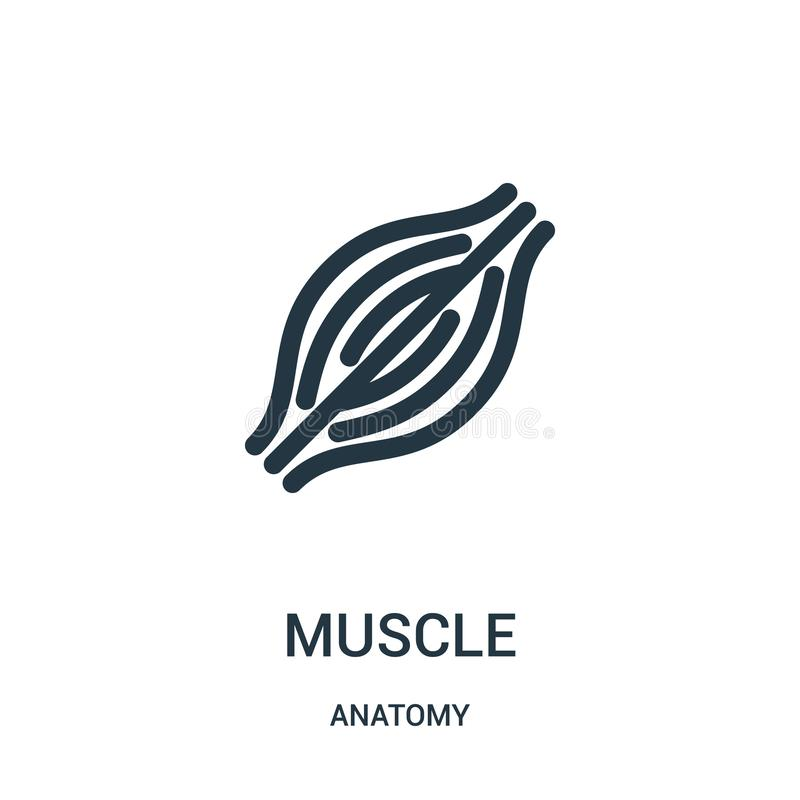 Muscle icon vector from anatomy collection. Thin line muscle outline icon vector illustration. Linear symbol for use on web and. Mobile apps, logo, print media royalty free illustration