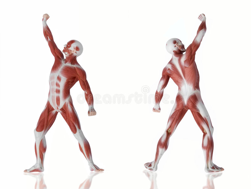 Muscle man anatomy. Two poses of a man displaying his anatomy and musculature