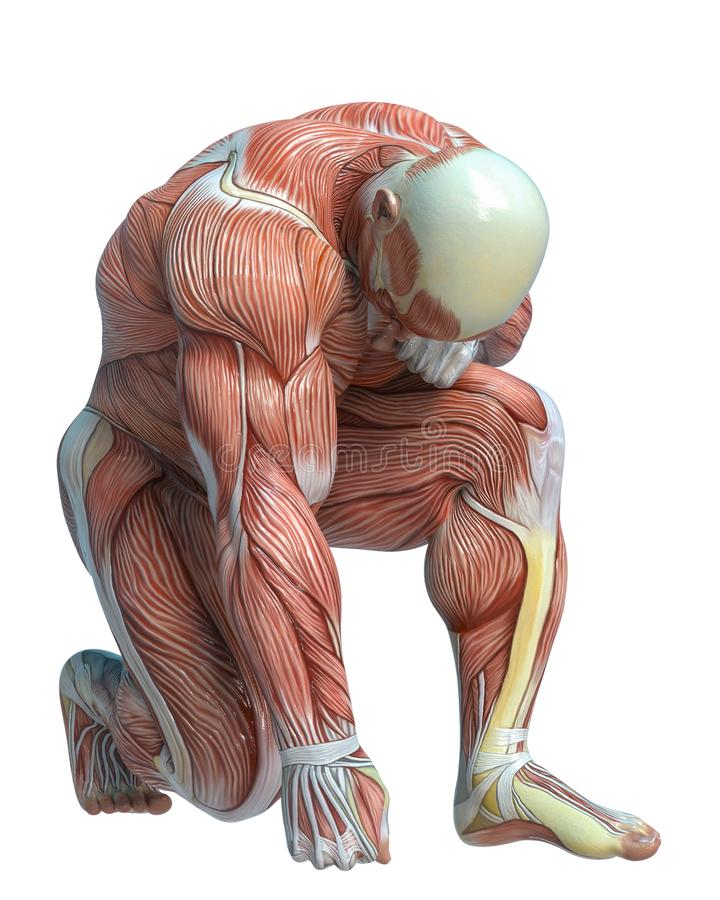 Muscle Man Anatomy In An White Background Stock Illustration