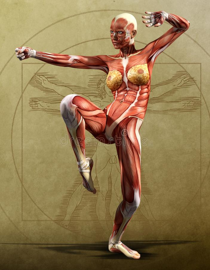 Muscle Maps Kata- Anatomy Front,  Adult Female. Kata Muscle maps of an adult female, anatomy view of the front,  parchment background, 3d render royalty free illustration