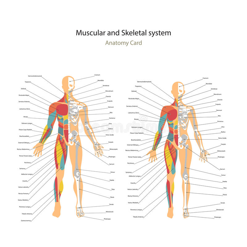 Muscle masculin et femelle et diagrammes de système osseux avec des explications Guide d'anatomie de la physiologie humaine illustration de vecteur