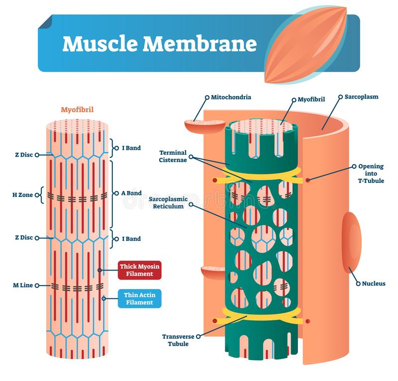 Muscle membrane vector illustration. Labeled scheme with myofibril, disc, zone, line and band. Anatomical mitochondria diagram. vector illustration