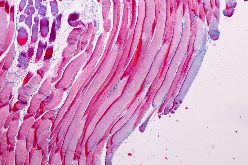 Muscle squelettique strié témoin histologique de tissu mammifère sous le microscope photos stock