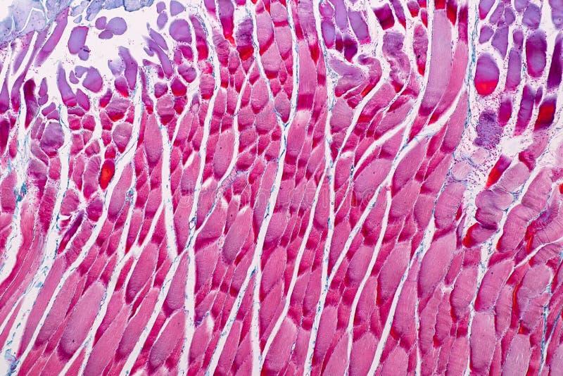 Muscle squelettique strié témoin histologique de tissu mammifère sous le microscope photo stock
