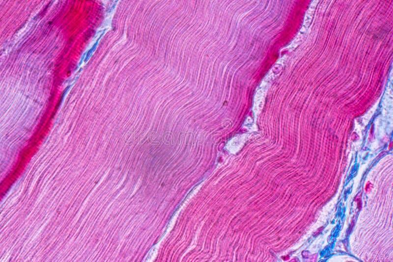 Muscle squelettique strié témoin histologique de tissu mammifère sous le microscope images stock