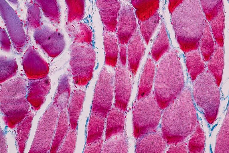 Muscle squelettique strié témoin histologique de tissu mammifère sous le microscope images libres de droits
