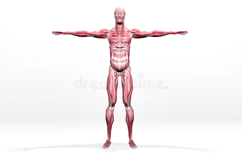 Download Muscles stock illustration. Image of human, calcaneal - 27270464