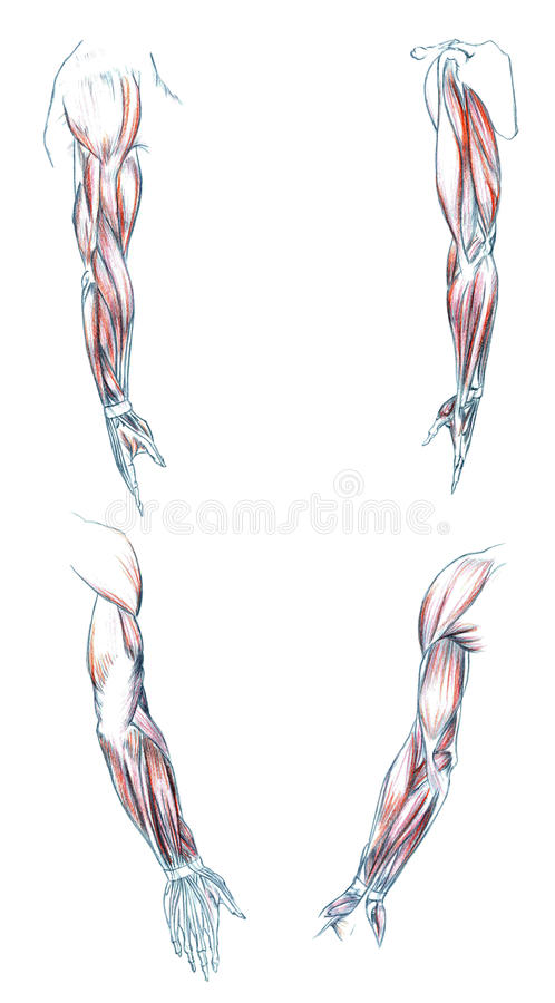 Muscles of Arm vector illustration