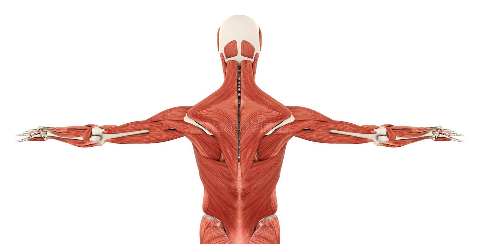 Muscles Of The Back Anatomy Stock Illustration Illustration Of
