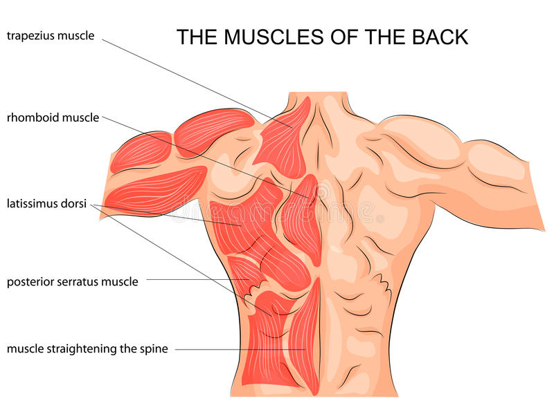 The Muscles Of The Back. Bodybuilder. Stock Vector - Illustration of ...