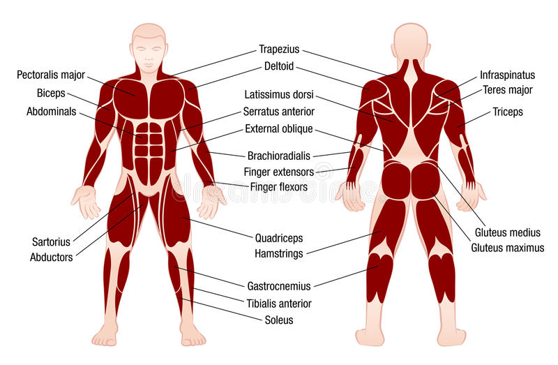 Muscles Chart Description Muscular Body Man. Muscle chart with accurate description of the most important muscles of the human body - front and back view royalty free illustration