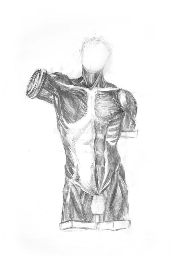 Muscles d'anatomie illustration libre de droits