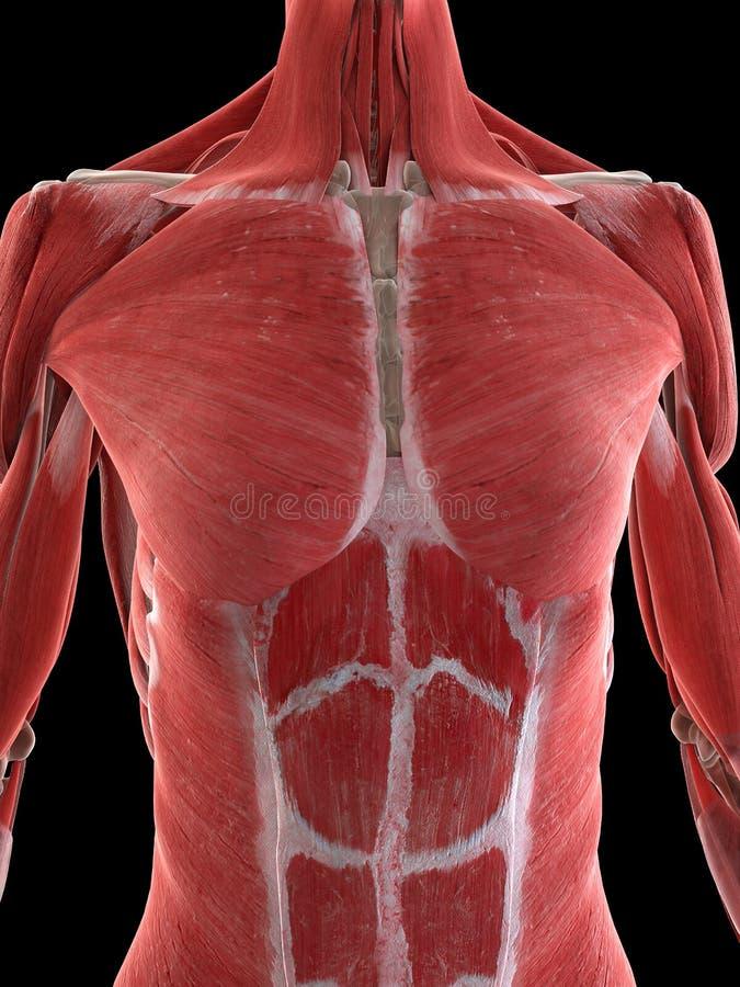 Muscles d'un corps supérieur de femelles illustration de vecteur