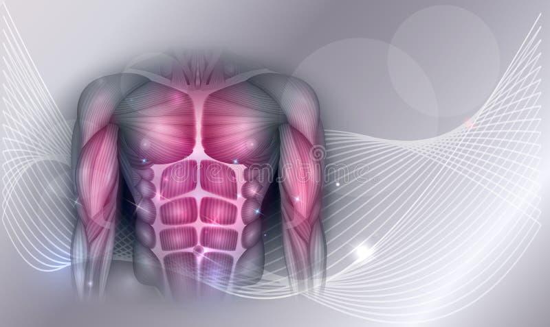 Muscles de coffre et d'abdomen illustration libre de droits