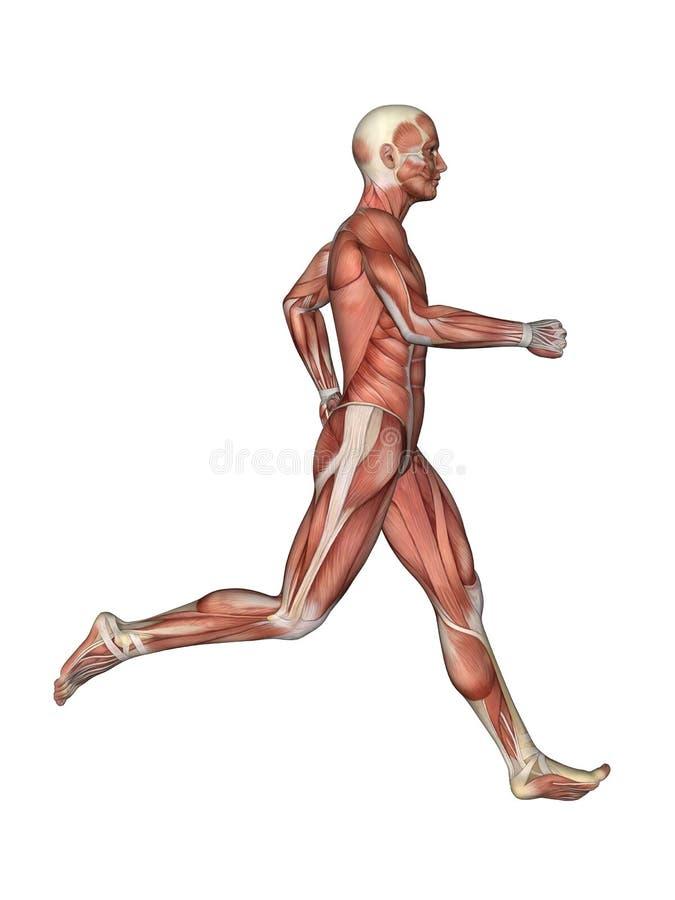 Muscles de l'anatomie masculine dans le mouvement illustration libre de droits