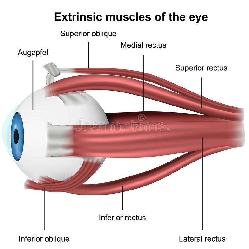 Muscles de l'oeil, illustration médicale du vecteur 3d sur le fond blanc illustration stock