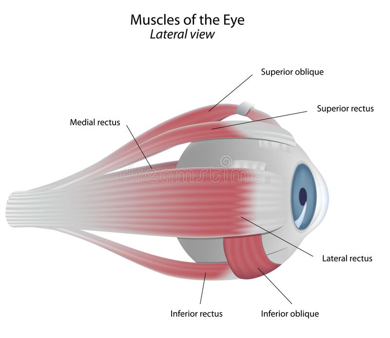Muscles of the eye. Lateral view of the right eye showing eye muscles, eps8 vector illustration