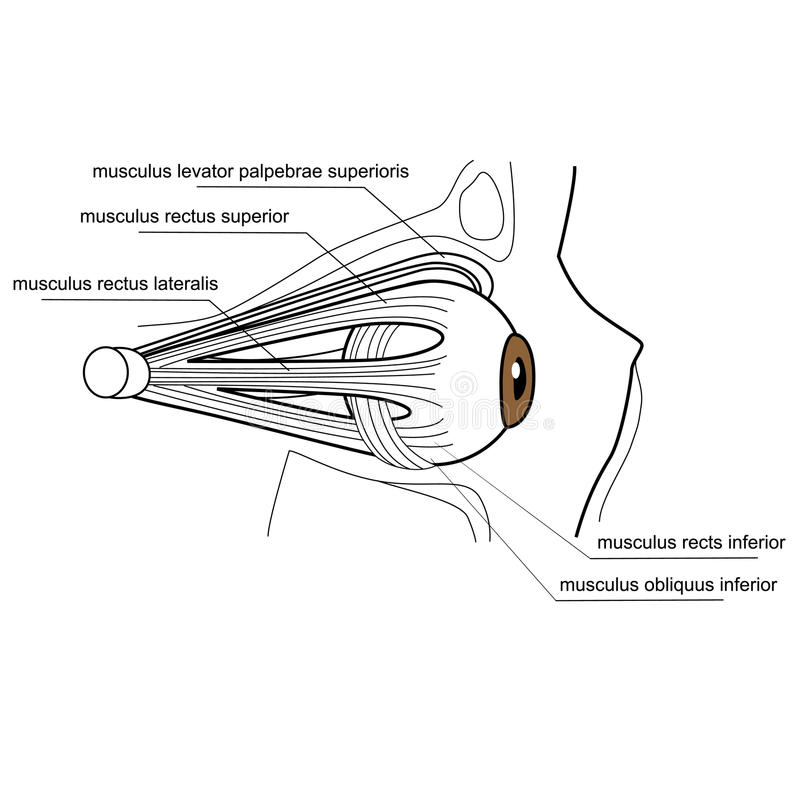 Muscles of the eye. Illustration of the muscles of the human eye vector illustration