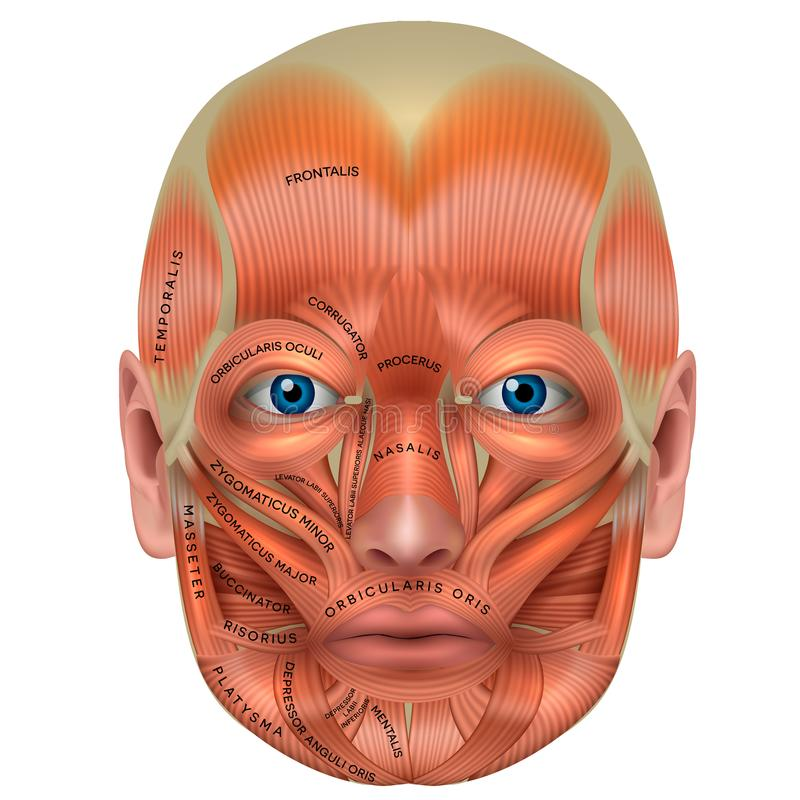 muscles of the face