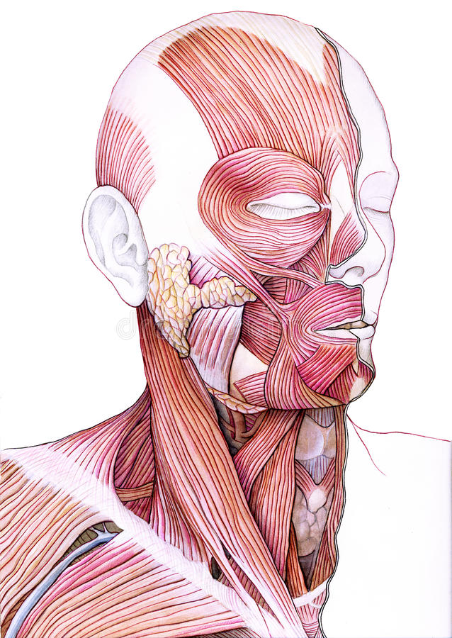 Muscles of the face and neck stock illustration