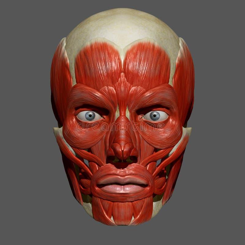 Muscles faciaux illustration de vecteur