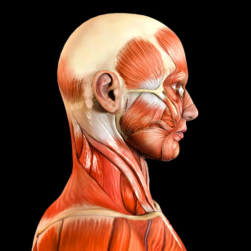 Muscles faciaux latéraux latéraux de visage image libre de droits