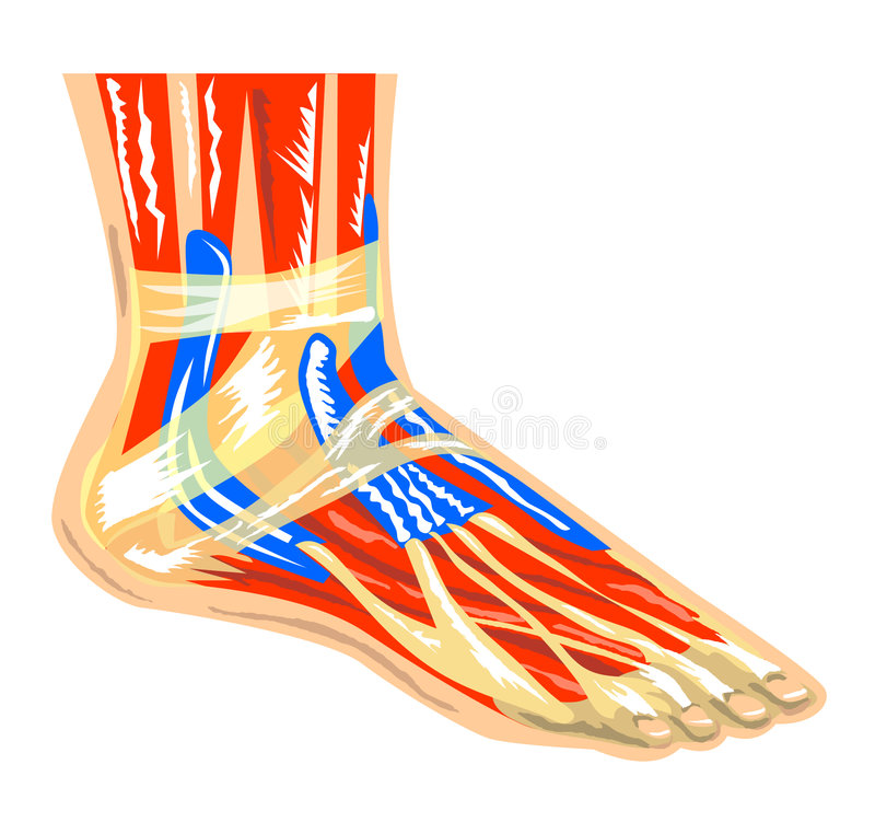 Muscles of the foot stock illustration