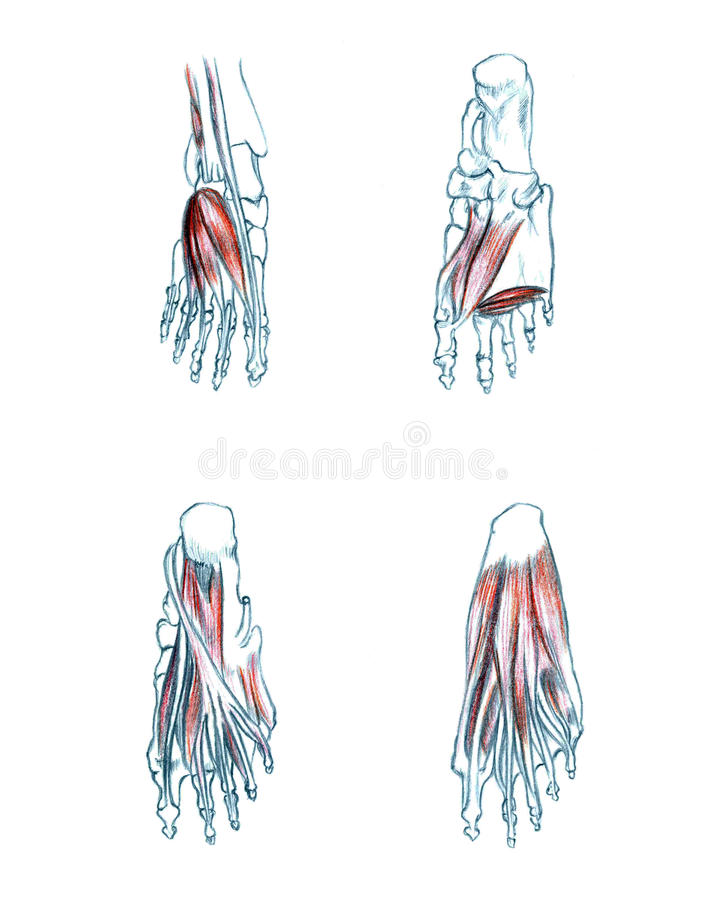 Muscles of foot stock illustration