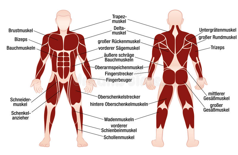 chart of muscles - Mersn.proforum.co