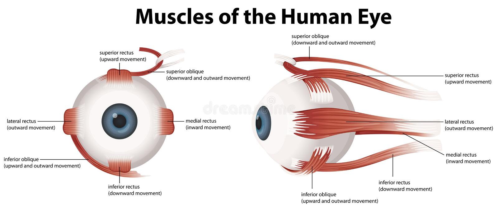 Muscles of the Human Eye. Illustration of the muscles of the human eye vector illustration
