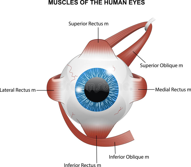 Muscles of the human eyes. Illustration of Muscles of the human eyes royalty free illustration