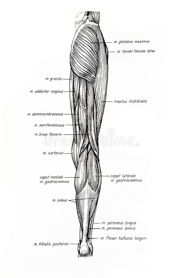 Muscles of the inferior limb drawing royalty free stock images