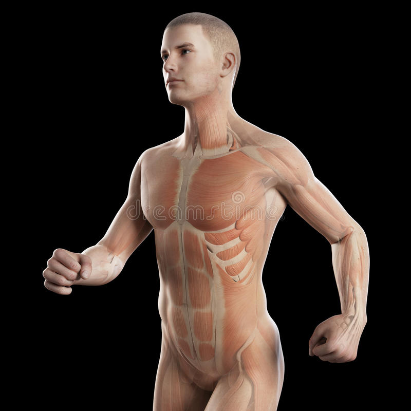 The muscles of a jogger. Anatomy illustration showing the muscles of a jogger royalty free illustration