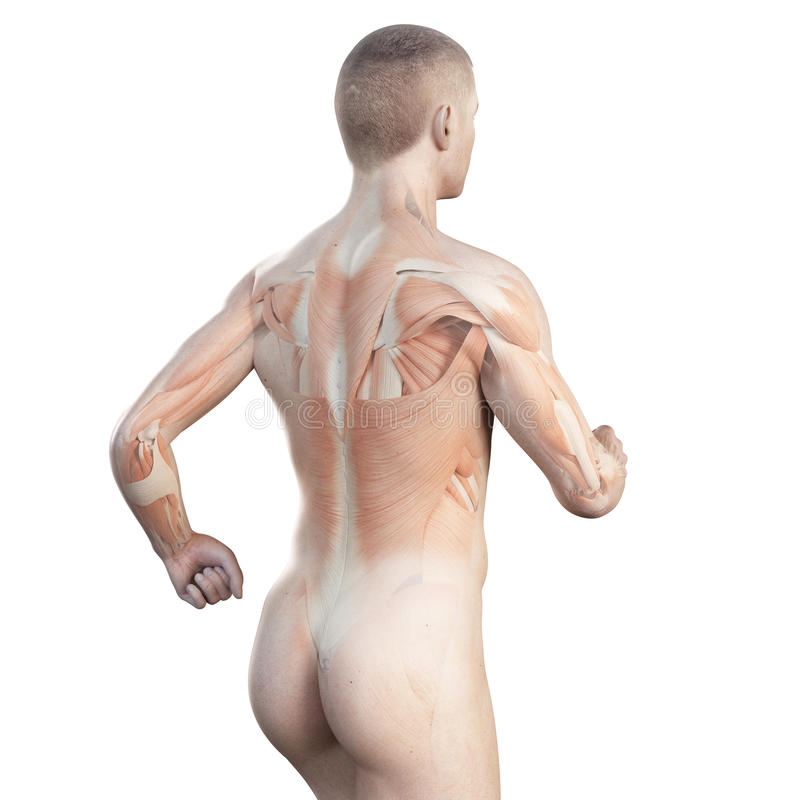 The muscles of a jogger. Anatomy illustration showing the muscles of a jogger vector illustration