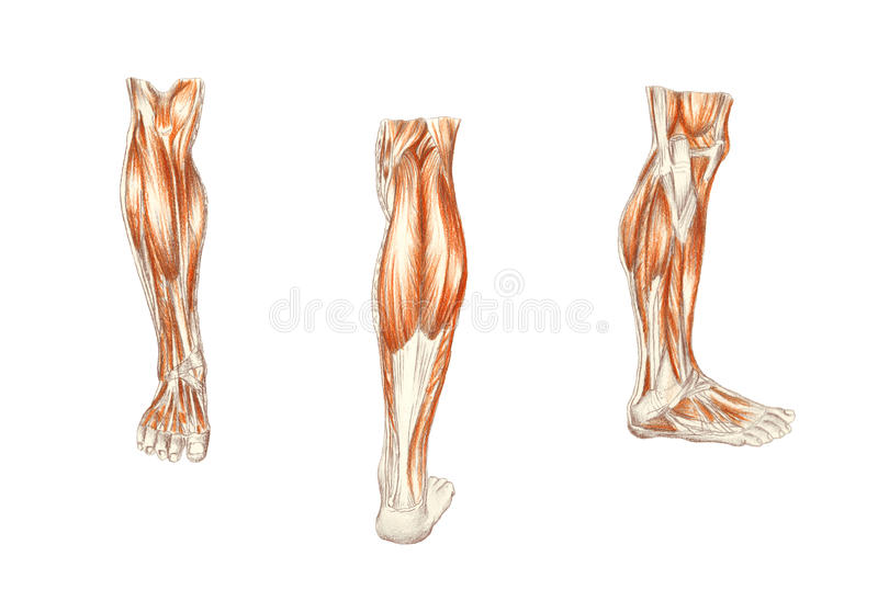 muscles of the leg, man's anatomy royalty free stock photography