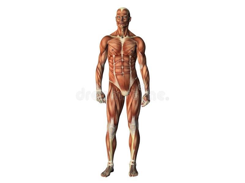 muscles mâles affichant le torse illustration libre de droits