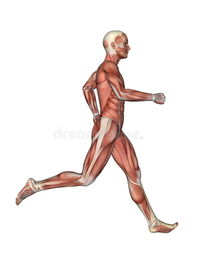 Muscles Of Male Anatomy In Motion Stock Illustration - Illustration ...