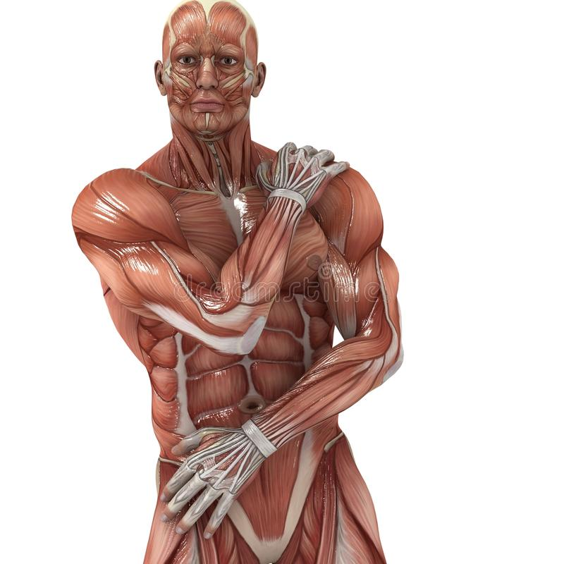 Muscles. A male model showing the muscles and his flexibility royalty free illustration