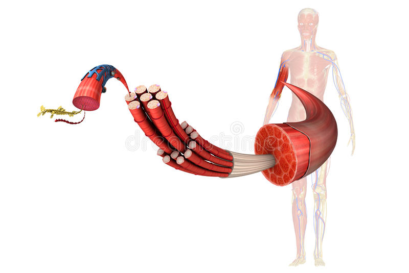 Muscles. Muscle is a soft tissue found in most animals. Muscle cells contain protein filaments of actin and myosin that slide past one another, producing a stock illustration